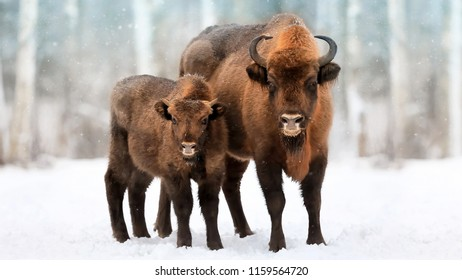 Family of European bison in a snowy forest. Natural winter christmas image.