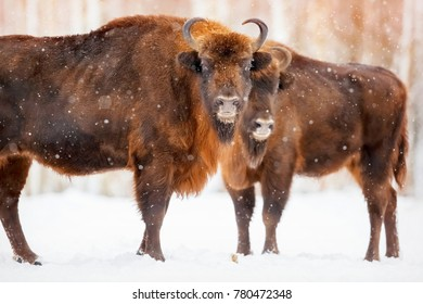 Family of European bison in a snowy forest.