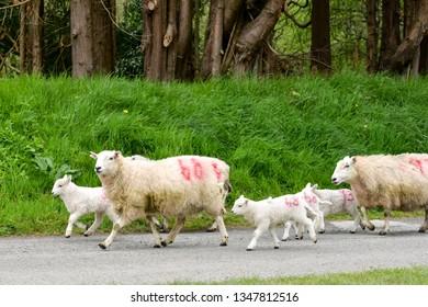 Running Lamb Images, Stock Photos & Vectors | Shutterstock