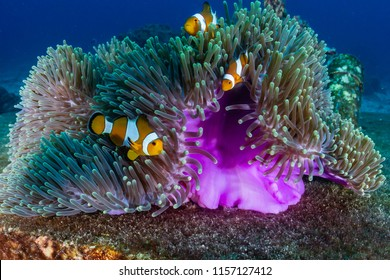 A family of False Clownfish in a beautiful purple anemone on a tropical coral reef