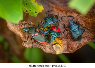 A family of Florida Predatory Stink Bugs (Euthyrhynchus floridanus) on a leaf. Raleigh, North Carolina.