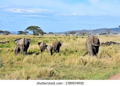 Family of four elephants walking backwards in Serengeti National Park