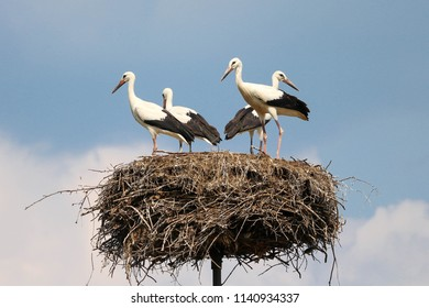 A family of four storks standing in the nest