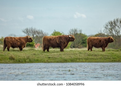 A family of fury cows standing at the water edge
