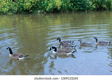 Family of geese swimming in a muddy pond, with some green bushes at the top edge