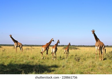 Family of Giraffe near Serowe, Botswana