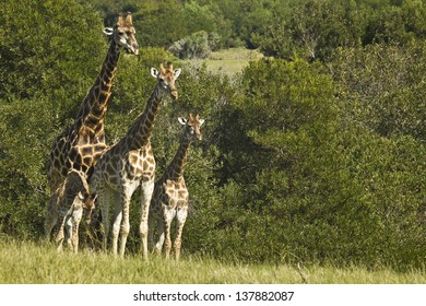 family of Giraffe standing next to some thick bush
