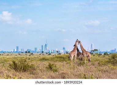 Family of Giraffes in the Park - Nairobi Skyline
