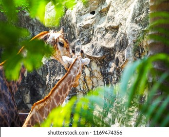 Mom And Baby Giraffe Images Stock Photos Vectors Shutterstock