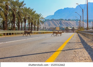 A family of goats crosses the road in Israel