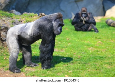 Family of gorillas resting on the grass