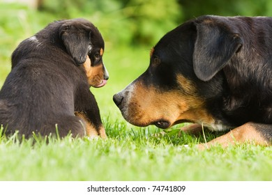 """family of """"great swiss mountain dog"""", mother and child take a look to each other"""