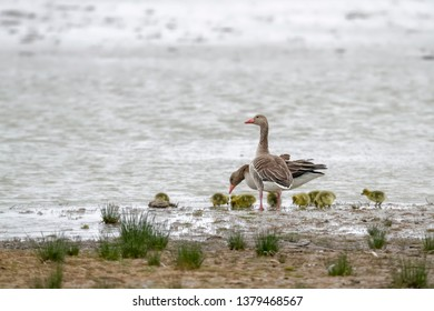 Family greylag goose (Anser anser) with group of gosling. Water bird on the lake, Neusiedler See - Seewinkel National Park, Austria.