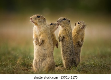 Family of ground squirrel standing up and looking for possible danger or feast. Very cleaver, fast, cute and funny animals.