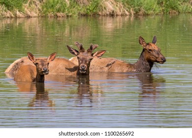 A family group of American elk (Cervus canadensis) bathing in a lake during hot summer day, Iowa, USA.