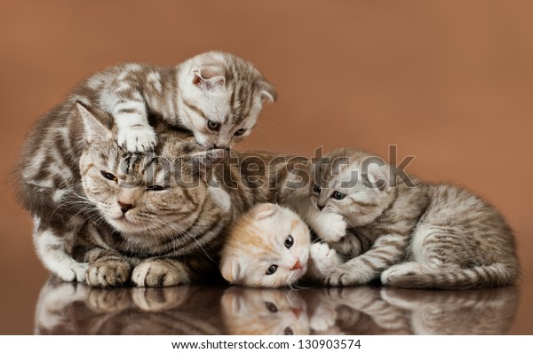 family group of four fluffy  beautiful kitten with mother, breed scottish-fold,  lie on brown  background