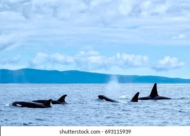 A family group of killer whales (orca) near the south coast of Pico Island in the Azores. A great destination for whale watching and ecotourism.