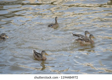 A family group of Mallard ducks in a row swim in the Potomac River on a sunny Summer day.
