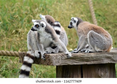 Family group of ring tailed lemurs
