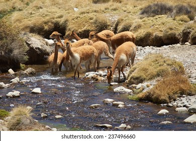 Family group of vicuna (Vicugna vicugna) drinking and bathing in a stream, high in the Atacama desert of north east Chile near Lauca National Park.