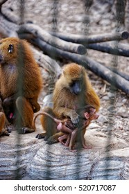 Family of Guinea Baboons in Zoo in the citadel in Besancon, Bourgogne Franche Comte region, in France.