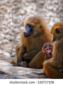 Family of Guinea Baboons in Zoo in the citadel in Besancon, Bourgogne Franche Comte region in France.