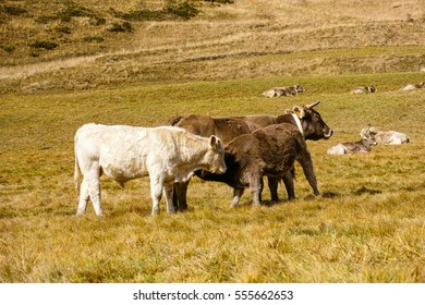 Family of happy cows in Andorra
