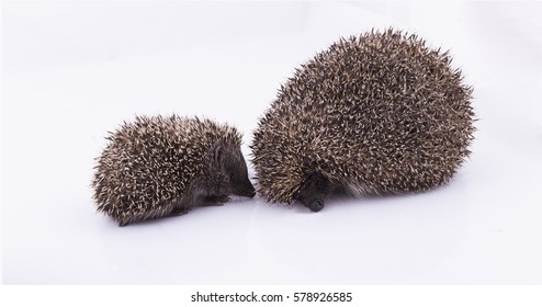 Family of hedgehogs.Mother and young hedgehog  in studio.