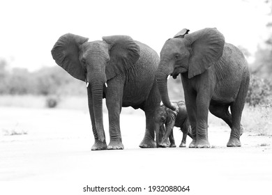 Family herd of elephants crossing a road, Kruger National Park, South Africa