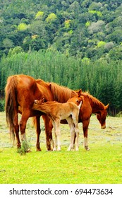 Family of horses with a foal suckling in Hogsback, South Africa.