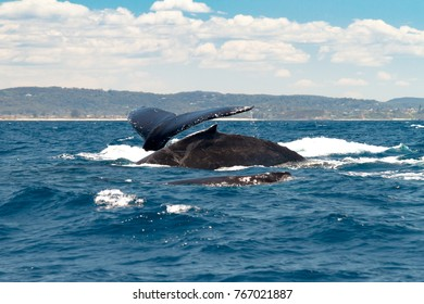 Family of Humpback Whales near Sydney, Australia