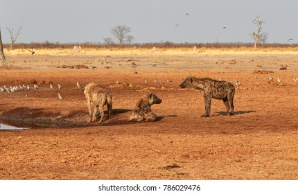 Family of hyena by the waterpool.