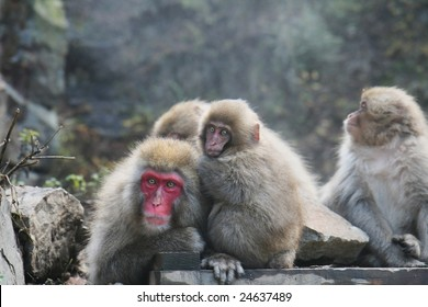 A family of Japanese Macacques is relaxing in front of an onsen dedicated to monkeys. This picture was taken in Jigokudani, Nagano prefecture Japan.