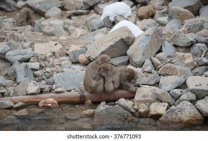 Family of japanese snow monkeys cold feeling  before snowfall in the park, Jigokudani Wild Monkey Park, Yamanouchi-machi, nagano ken, Japan.