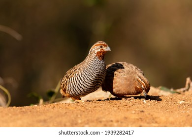 A family of jungle quails eating grains on the ground inside bushy jungles on the outskirts of Bangalore