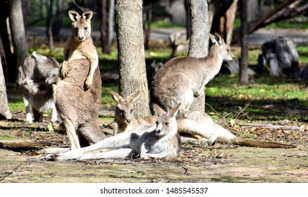 Family of kangaroos together in a national park