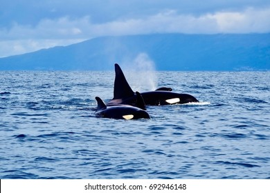 A family of killer whales (Orcinus orca), just off the coast of the Azores, top spot for whale watching.