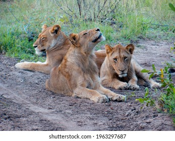 Family of lions free and in the wild in a jungle of Africa | Kruger National Park, Southafrica