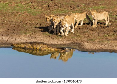 A family of lions growling at a crocodile at the edge of a lake
