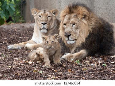 family of lions male female and cub