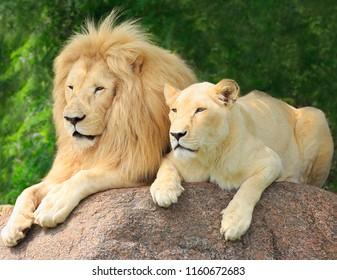 Family lions portrait