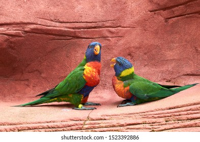 Family of Loriinae parrot (Loriini) with chick, close up