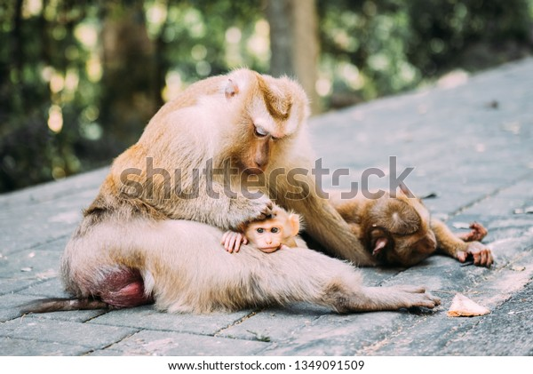 Family of Macaque monkeys in wild nature. Mother and baby. Feeding and rest