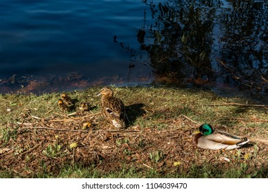 A family of mallard birds together on grass by the water. Male, female and their ducklings.