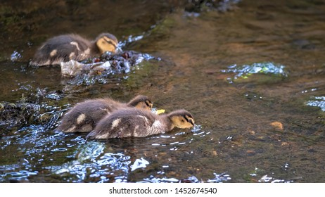A family of mallard ducklings foraging for food as they paddle upstream together in a river