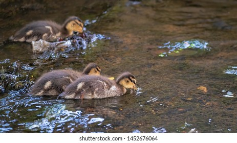 A family of mallard ducklings paddling upstream together while foraging for food in a river