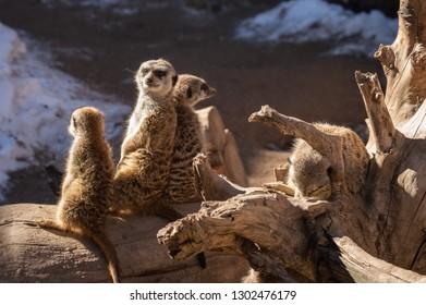 Family of meerkat in captivity in Colorado Springs, Colorado zoo