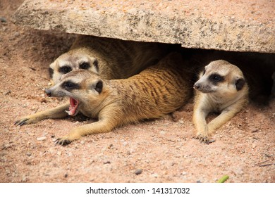 a family meerkat in hole