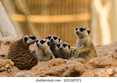 A family of meerkat stay close to each other for security purposes