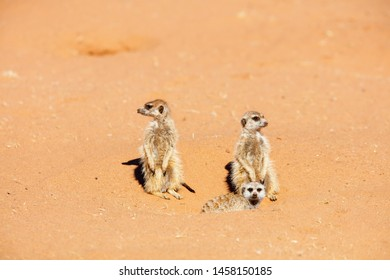 Family of meerkat or suricate watching out for danger hiding in burrow in Kalahari in Namibia